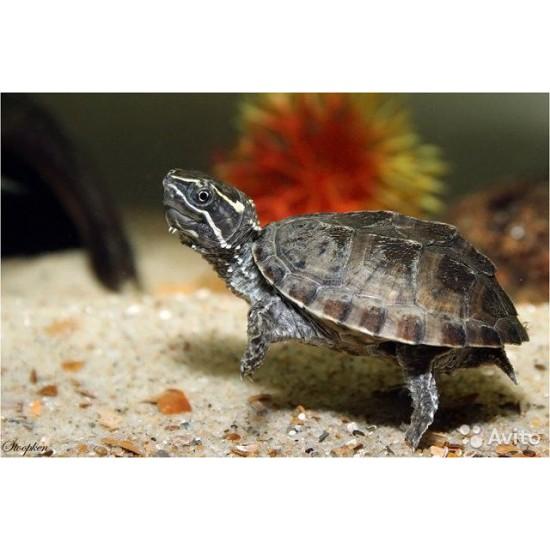 Фото Мускусная черепаха (Sternotherus odoratus) - 4см labeo.com.ua