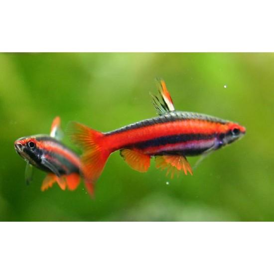 Фото Нанностомус бекфорда красный (Nannostomusbeckfordi red) -  3-4см Купить