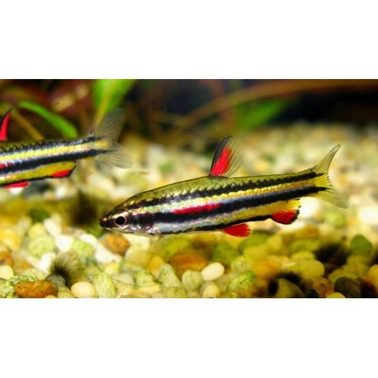 Фото Нанностомус маргинатус (Nannostomus marginatus) - 3-4см Купить