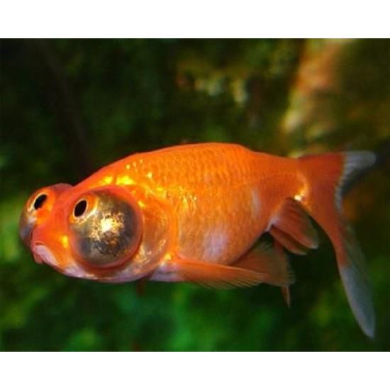 Фото Небесное око, Звездочет красный (Carassius auratus) - 5,5-6см Смотреть