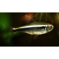Неон черный (Hyphessobrycon herbertaxelrodi) - 2-3см