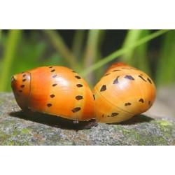 Неритина красная черноточечная (Neritina Red Spotted Snail) - 2см