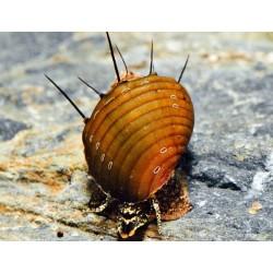 Неритина шипастая (Neritina Hairy Snail) - 2см