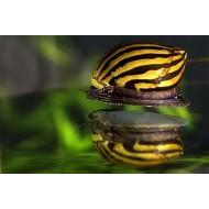 Неритина зебра (Neritina Zebra Snail) - 2см