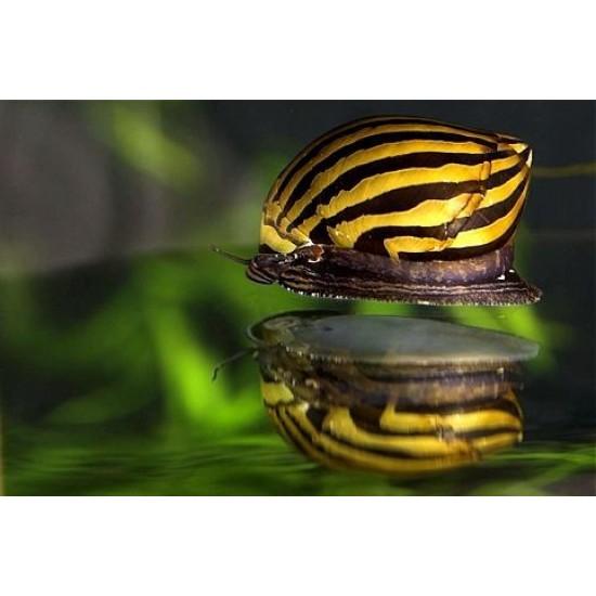 Фото Неритина зебра (Neritina Zebra Snail) - 2см Купить