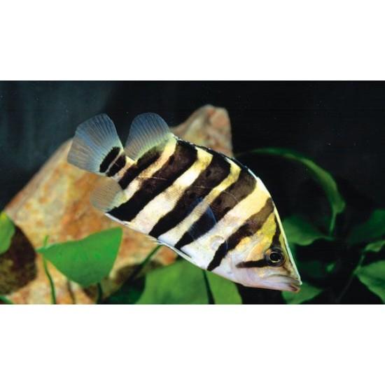 Фото Окунь сиамский тигровый (Datnoides microlepis) - 7-8см Смотреть