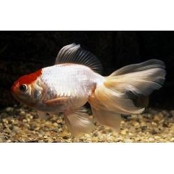 Оранда красная шапка (Carassius auratus) - 6-7см