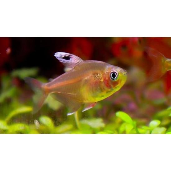 Фото Орнатус белоплавничный (HyphessobryconOrnatus) - 2-3см labeo.com.ua
