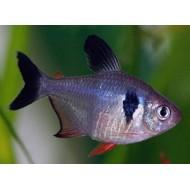 Орнатус черный (Hyphessobrycon megalopterus) - 2,5-3см