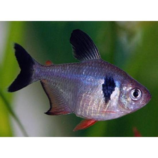 Фото Орнатус черный (Hyphessobrycon megalopterus) - 2,5-3см Купить
