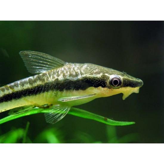 Фото Отоцинклюс аффинис (Otocinclus affinis) - 2,5-3см Смотреть