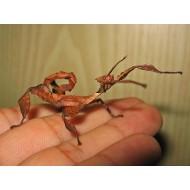 Палочник австралийский (Extatosoma tiaratum), шт.