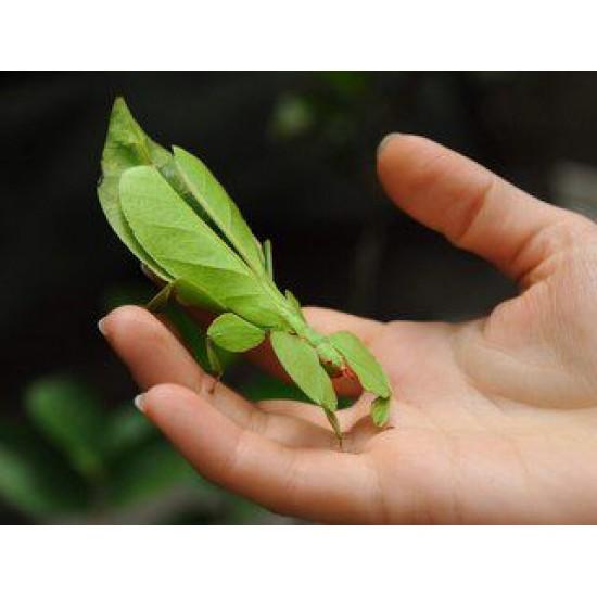 Фото Палочник новогвинейский (Euricanta calcarata), шт. Смотреть