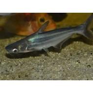 Пангасиус (Pangasius sutchi) - 3-3,5см