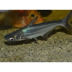 Пангасиус (Pangasius sutchi) - 5см
