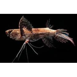 Пантодон рыба-бабочка (Pantodon buchholzi) - 6-8см