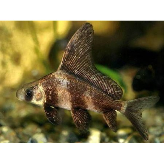 Фото Парусник чукучан (Myxocyprinus asiaticus) - 5-6см Смотреть