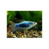 Пецилия голубая такседо (Xiphophorus maculatus) - 1,5-2см