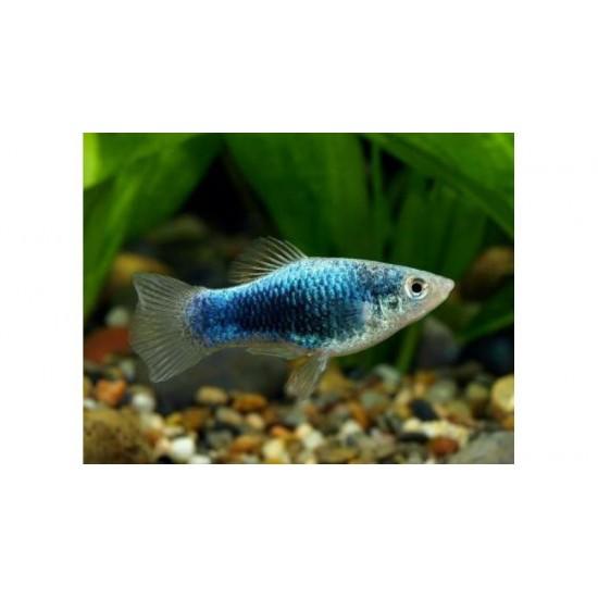 Фото Пецилия голубая такседо (Xiphophorus maculatus) - 1,5-2см Купить