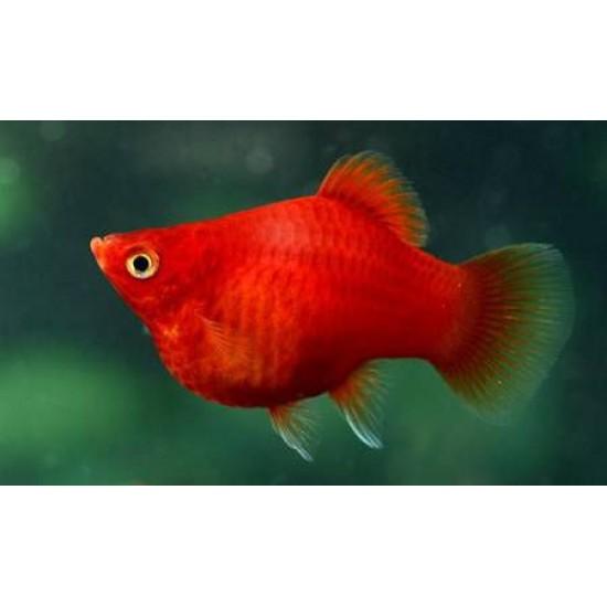 Фото Пецилия красная дисковая (Xiphophorus maculatus) - 1,5-2,5см Купить
