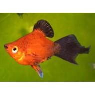Пецилия красная редиска (Xiphophorus maculatus) - 2см
