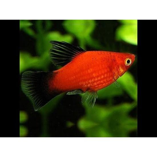 Фото Пецилия красная (Xiphophorus maculatus) - 2,5-3см Купить