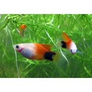 Пецилия красно-белая миккимаус (Xiphophorus maculatus) - 3-4см