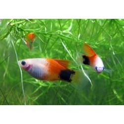 Пецилия красно-белая миккимаус (Xiphophorus maculatus) - 2см