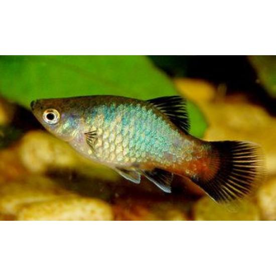 Фото Пецилия радужная (Xiphophorus maculatus) - 2см Купить