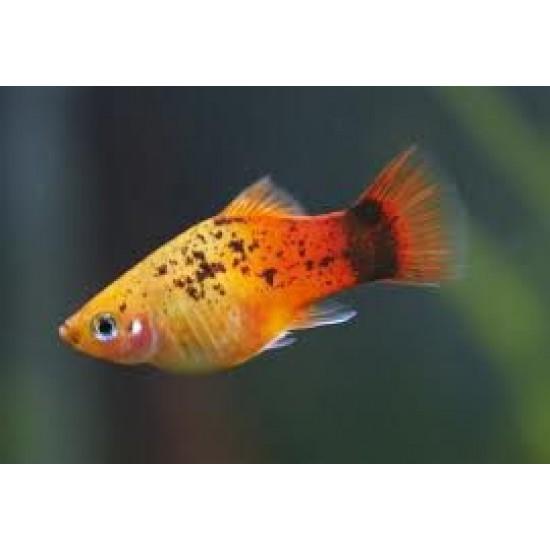 Фото Пецилия трехцветная кои (Xiphophorus maculatus) - 2-3см Купить