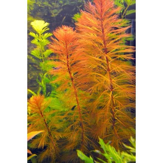 Фото Перистолистник Рорайма (Myriophyllum sp. Roraima) - веточка Купить
