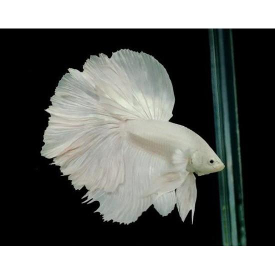 Фото Петух халфмун белый, батерфляй класс А (Betta splendens) - 6см Купить