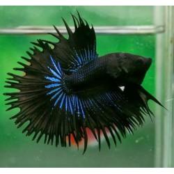 Петух коронохвостый черный (Betta splendens) - 5-6см