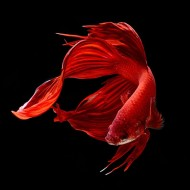 Петух вуалевый красный, мультиколор, зеленый импорт (Betta splendens) - 5,5-6см