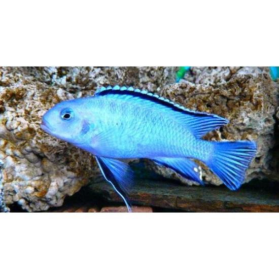 Фото Пиндани (Pseudotropheus socolofi) - 2,5-3см labeo.com.ua