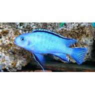 Пиндани (Pseudotropheus socolofi) - 5-6см