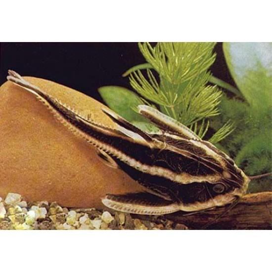 Фото Платидорас полосатый (Platydoras costatus) - 4см Смотреть