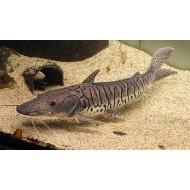 Платистома тигровая (Pseudoplatystoma fasciatum) - 6см