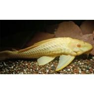 Плекостомус альбинос (Hypostomus plecostomus albino) - 6см