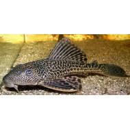Плекостомус (Hypostomus plecostomus) - 6см