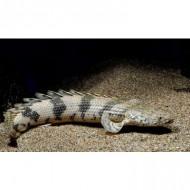 Полиптерус Эндлихера (Polypterus endlicheri) - 8-9см