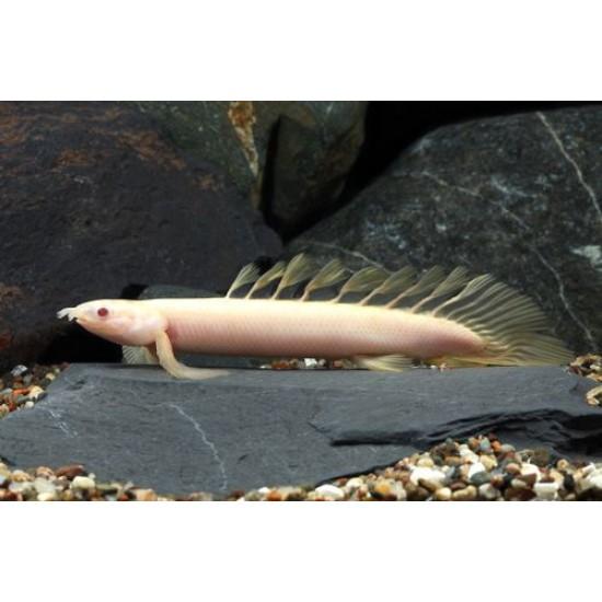 Фото Полиптерус сенегальский альбинос (Polypterus senegalus albino) - 9-10см Смотреть