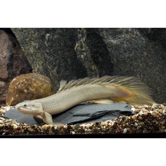 Фото Полиптерус сенегальский (Polypterus senegalus) - 7см Купить