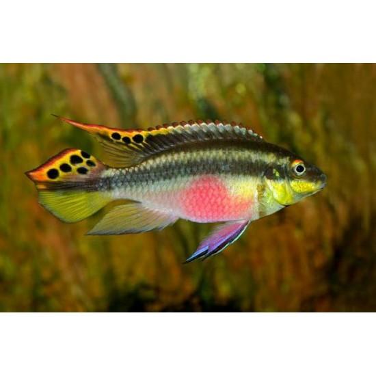 Фото Попугайчик африканский (Pelvicachromis pulcher) - 3,5-4см Смотреть