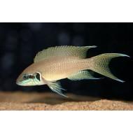 Принцесса бурунди (Neolamprologus brichardi) - 4см