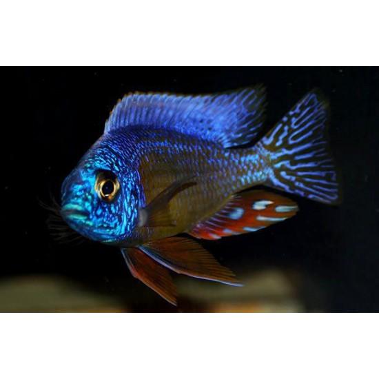 Фото Протомелас тайвань риф (Protomelas spec. steveni Taiwan Reef) - 4,5-5см Купить