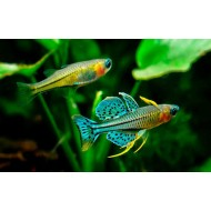 Псевдомугил гертруды (Pseudomugil gertrudae) - 2см