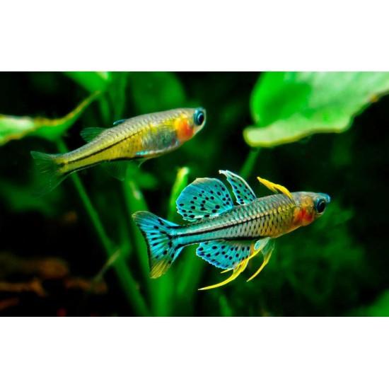 Фото Псевдомугил гертруды (Pseudomugil gertrudae) - 2см labeo.com.ua