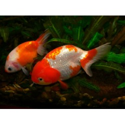 Ранчу красный, красно-белый (Carassius auratus) - 4,5см