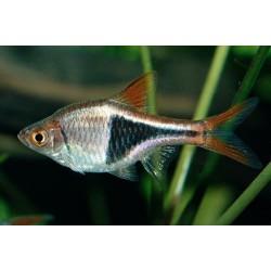 Расбора гетероморфа клинопятнистая (Rasbora heteromorpha) - 2см